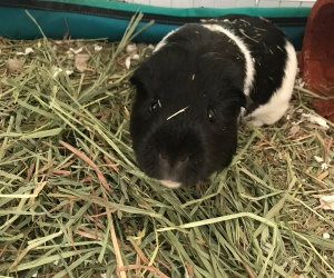 Popcorning in his Hay