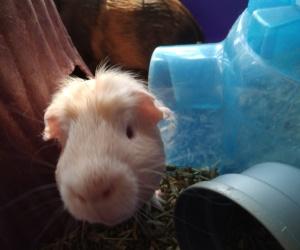 Male guinea pig. Use to kids