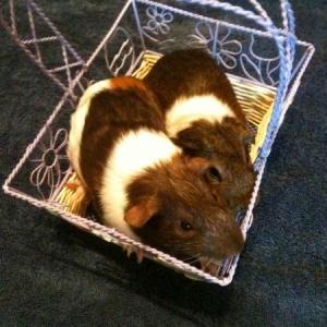 Austin Guinea Pig Rescue