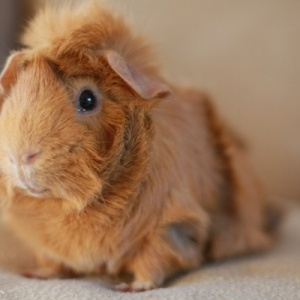 Critter Corral Guinea Pig Rescue