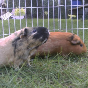 Wheeker's Guinea Pig Rescue