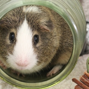 Bellevue Cavy Critters Adoption Center