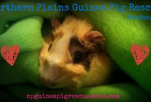 Northern Plains Guinea Pig Rescue