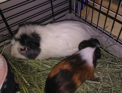 Guinea Pigs 4 same gender pairs available
