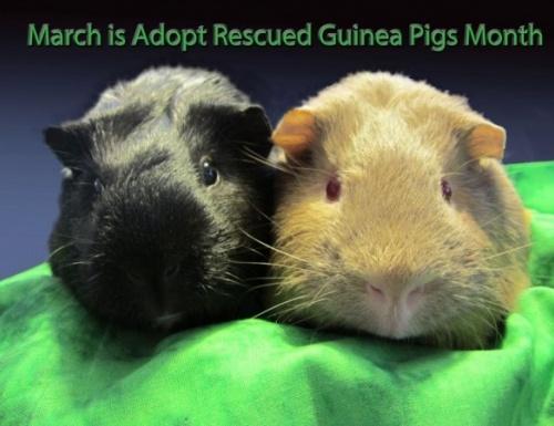 Wheek Care Guinea Pig Rescue